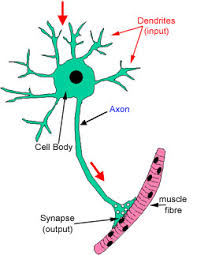 The Histology Guide Nerves