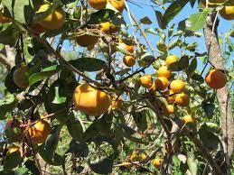 LOTUS FRUIT  YouTubeLotus Fruit Tree