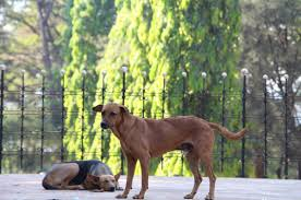 streeties a photo essay of street dogs goa dog yearbook blog commentary by suz fisher dog yearbook blog editor
