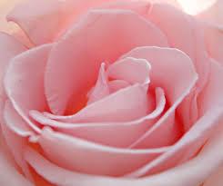 cute rose images