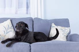 pin black dog on couch