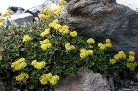 Image result for flowering buckwheat