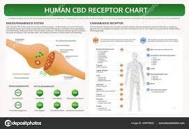 Cbd Chart Human Cbd Receptor Chart Horizontal Textbook Infographic