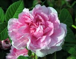 Empress Josephine' rose   Pink Gallica, Historic Rose