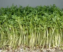 Выращивание <b>кресс салата</b>, в том числе в домашних условиях, а ...