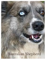 australian sheep dog blue eyes photo 24