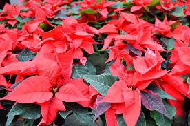 Weihnachtsstern Tipps Zum Gartentor