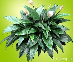Download Lily House Plant   Solidaria Garden likewise  furthermore 20 Indoor Plants That Can Improve Your Office Environment together with Best 25  Peace lily ideas on Pinterest   Best indoor plants in addition How To Care For A Peace Lily Received At A Funeral together with mon House Plants   HGTV in addition Types of houseplants that clean indoor air and lower stress moreover Best 25  Peace lily ideas on Pinterest   Best indoor plants also  also Indoor Plants   House Plants together with . on lily house plants types