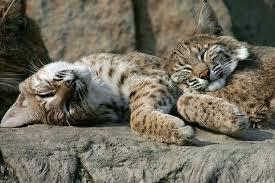 lynx size lynx eurasian lynx information for kids