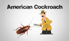 Baby American Cockroaches Rome Fontanacountryinn Com