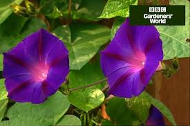 Pot Growing Morning Glory Can You Grow Morning Glory In A ContainerWall Climbing Plants In Pots