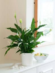 Light For Peace Lily Peace Lily Care Tips Indoor Plants Low Light Best Indoor