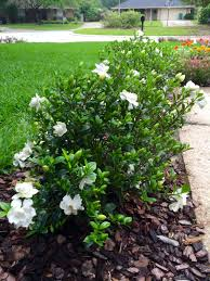 gardenia bush hedge this might be a nice replacement for those rosebushes under the windows next to the house yard work is hard work gardenia bush