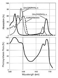 Action Spectrum Typical Par Action Spectrum Shown Beside Absorption Spectra