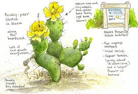 Small Picture A Nature Art Journal in Southwest Florida Prickly pear in bloom