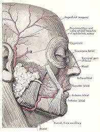 arteries of the face facial artery