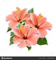hibiscus flowers pink hibiscus flowers bouquet isolated on white background stock