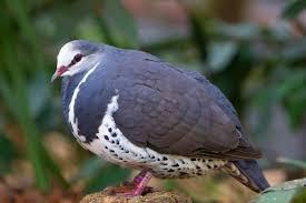 Wonga pigeon - Big Ideas - ABC Radio National (Australian ...