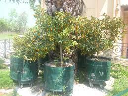 My Edible Fruit Trees Kumquat TreesKumquat Tree Not Bearing Fruit