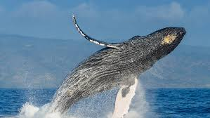 as winter es around thousands of humpback whales migrate more than 3 000 miles to the warm waters of maui