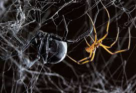 How To Make A Giant Spider Web Hobo Spider Spiderbytes