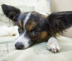 Dog Training How to Keep Dogs f Furniture