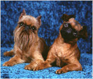 Brussels Griffon Weight Chart Brussels Griffon Dog Breed Facts And Traits Hills Pet