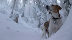 Desktop Wallpapers Beagle dog Winter Snow Animals