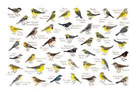 Warbler Id Chart Warblers Of North America Field Guide Art Print Watercolor