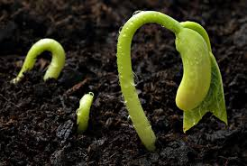 Image result for SEED GERMINATION