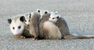 7 Fascinating Opossum Facts Farmers Almanac