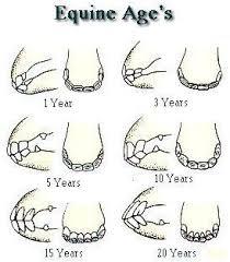 Teeth Age Chart Www Horse Teeth Age Chart Of The Teeth Of The Horse