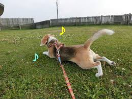 "「芝生 ""kuge309/"" site:dog.pelogoo.com」の画像検索結果"