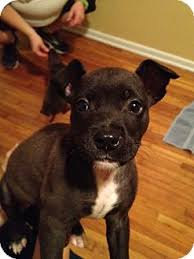 terrier pitbull mix puppies. Fine Terrier For Terrier Pitbull Mix Puppies U