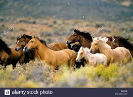 wild horses mustang running. Beautiful Mustang Wild Horses Running High Desert  Stock Image For Horses Mustang Running N