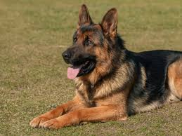 Image result for free picture of german shepherd