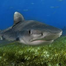 Tiger Shark National Geographic