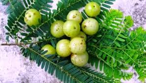 medicinal plants amla n medicinal plants and their uses dried  medicinal plants amla n medicinal plants and their uses dried n gooseberry information about medicinal plant amla herbal medicinal plants n