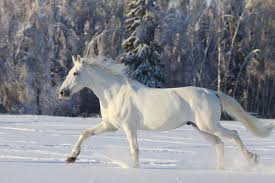 white horses in snow.  Horses White Horse In Snow  Photo2 With Horses In Snow A