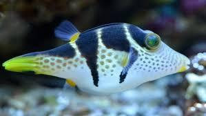 Двоякодышащие рыбы Необычные способности рыбы шара оказались обычными