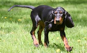 a great all around hunting dog the hound hound hunting