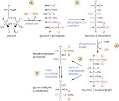 Glycolysis Chart With Enzymes Metabolic Pathways Microbiology