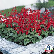 salvia summer jewel red 2016 aas bedding plant award winner this aas bedding plant award