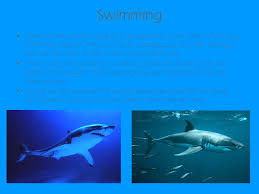 the great white shark aka the white pointer shark carcharodon  7 swimming