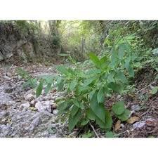 Genere Carpesium - Flora Italiana