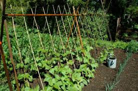 garden cages. Simple Garden Trellis With Horizontal And Diagonal Wooden Poles Supporting A Vining Green  Vegetable Crop On Garden Cages