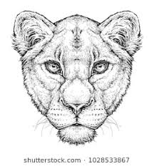 lioness face drawing. Brilliant Lioness Hand Drawn Portrait Of Lioness Vector Illustration Isolated On White And Lioness Face Drawing R