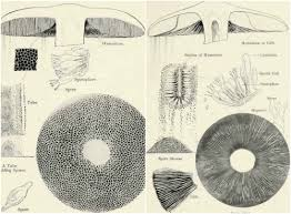 Spore Print Color Chart Spore Prints Are Used For Three Main Purposes Mushroom