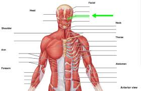 The maintenance of posture and body position. A P Major Muscles Of The Body Images Flashcards Quizlet