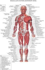 Anatomy Muscles Anatomy Human Body Anatomy Body Anatomy